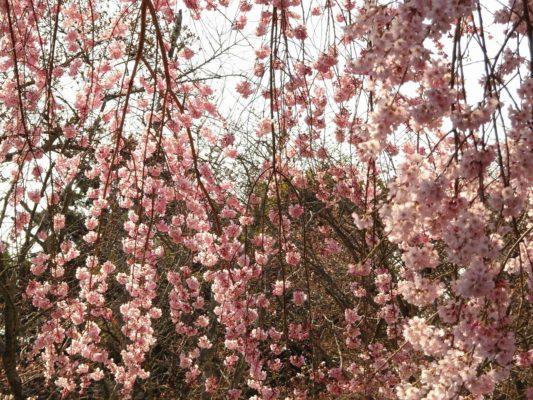 醍醐寺の霊宝館のしだれ桜の枝