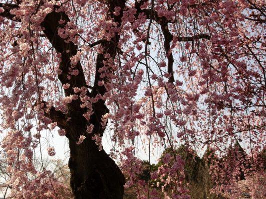 2017 醍醐寺の霊宝館のしだれ桜の下