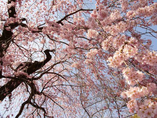 2017 醍醐寺の霊宝館のしだれ桜の下 2
