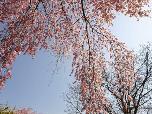 2017 醍醐寺の霊宝館のしだれ桜の下 3