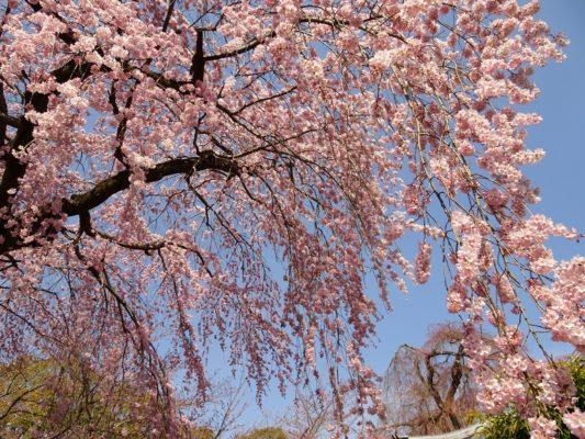 2017 醍醐寺の霊宝館のしだれ桜