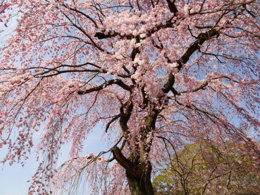 2017 醍醐寺の霊宝館のしだれ桜 2