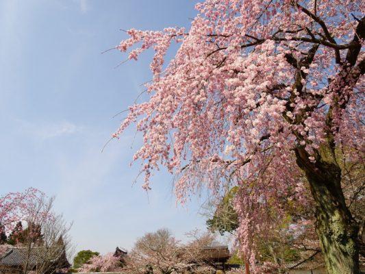 2017年 醍醐寺の霊宝館のしだれ桜の下