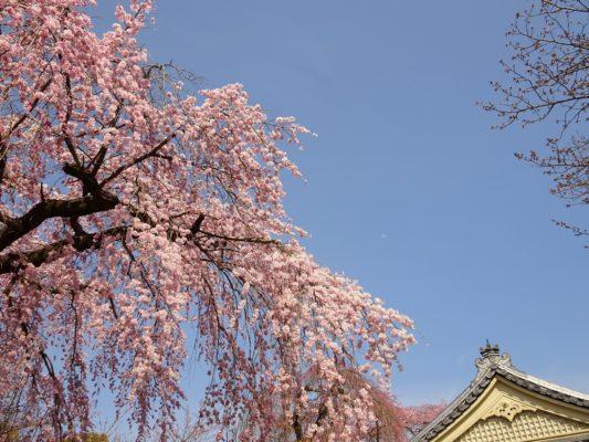 2017 醍醐寺の霊宝館のしだれ桜と霊宝館