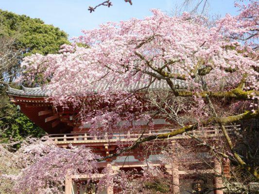 醍醐寺 西大門のさくら