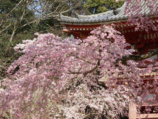 京都 醍醐寺 西大門のさくら