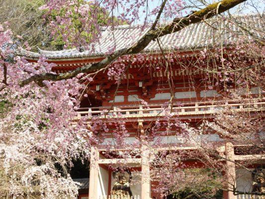 京都 伏見 醍醐寺 西大門のさくら