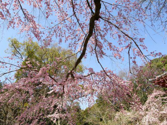 京都 醍醐寺 西大門のしだれさくら