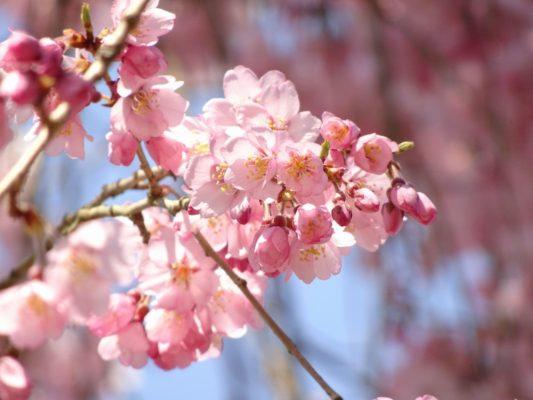 京都 醍醐寺 西大門のしだれさくらの花びら
