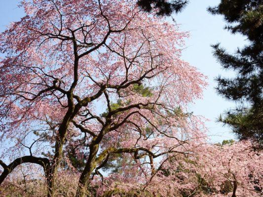 京都 醍醐寺 しだれ桜 2017年