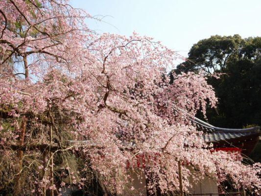 京都 醍醐寺 しだれ桜 2017年 2