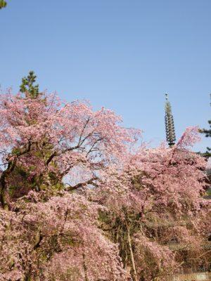 京都 醍醐寺 しだれ桜 2017年春