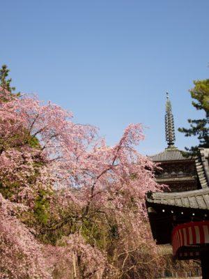 京都 醍醐寺 のしだれ桜 と五重塔 2017年春