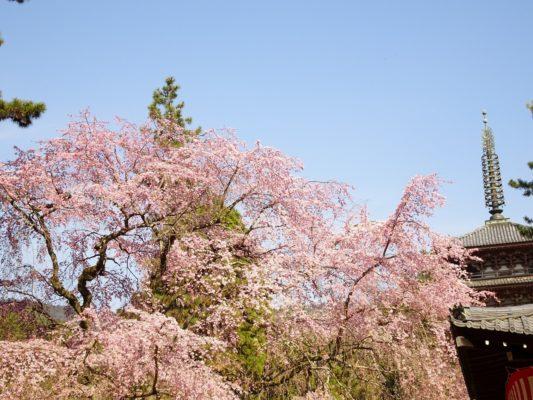 京都 醍醐寺 のしだれ桜 と五重塔 2017年春 2
