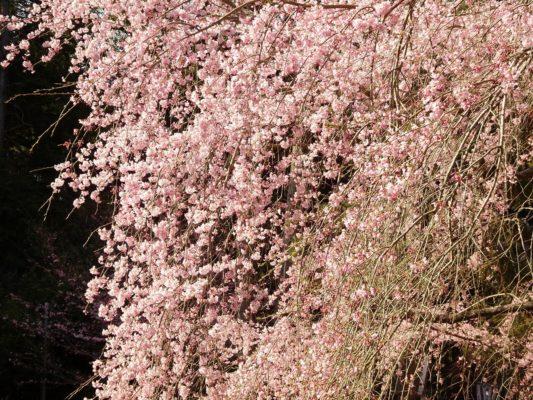 京都 醍醐寺 のしだれ桜  2017年春
