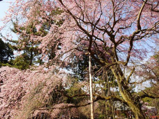 京都 醍醐寺 の美しいしだれ桜 2017年春