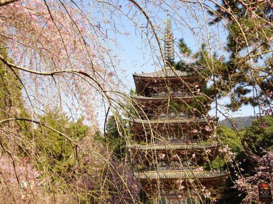 京都 醍醐寺 の美しいしだれ桜 と五重塔