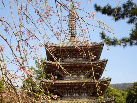 京都 醍醐寺 の美しいしだれ桜 と国宝 五重塔