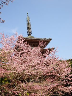 桜 と国宝の五重塔