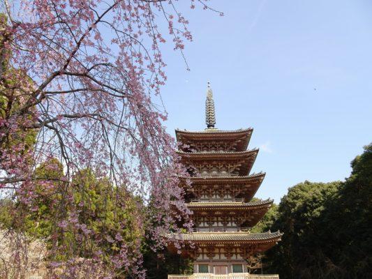 2017 京都醍醐寺のしだれ桜 と国宝の五重塔