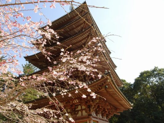 京都 醍醐寺の最古の五重塔と桜