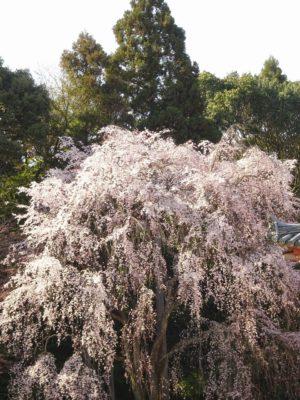 京都 醍醐寺の金堂のしだれ桜