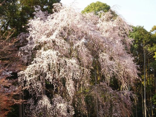 京都 醍醐寺の金堂のしだれ桜です