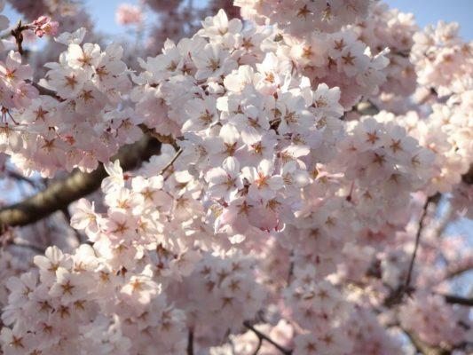 三宝院のしだれ桜2