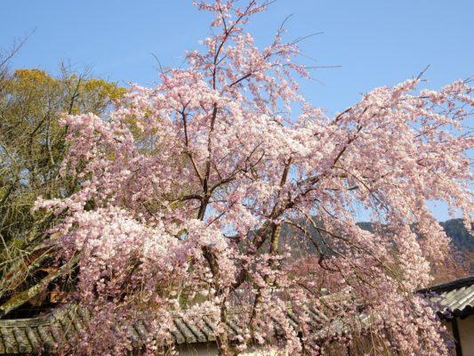 三宝院のしだれ桜3