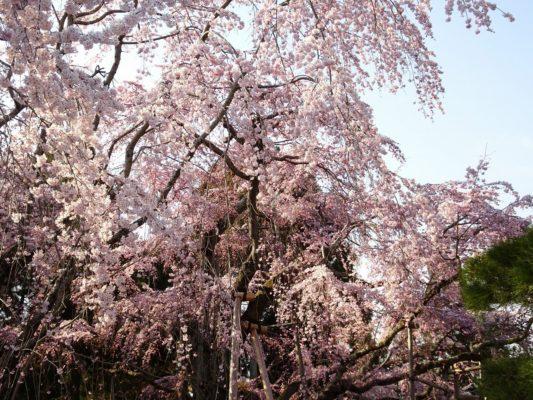 圧巻 三宝院のしだれ桜