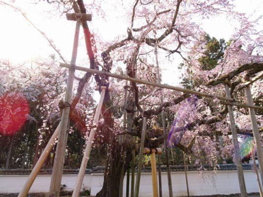 秀吉の三宝院のしだれ桜