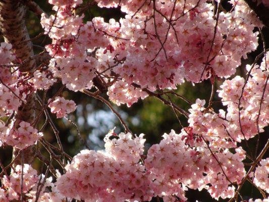 秀吉の三宝院のしだれ桜の写真