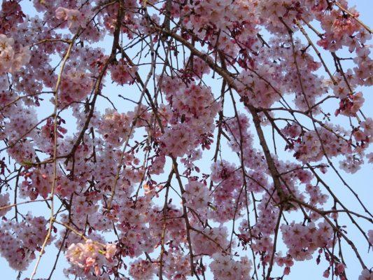 秀吉の三宝院のしだれ桜の枝写真