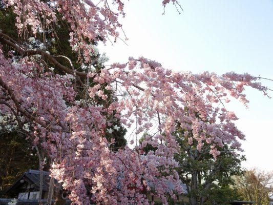 しだれ桜の写真