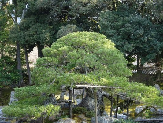醍醐寺の三宝院の庭園の松