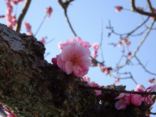 京都 醍醐寺の三宝院の桜