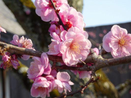 京都 醍醐寺の三宝院の桜2