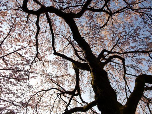 太閤の三宝院の桜