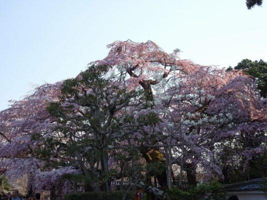 太閤の三宝院のしだれ桜 写真