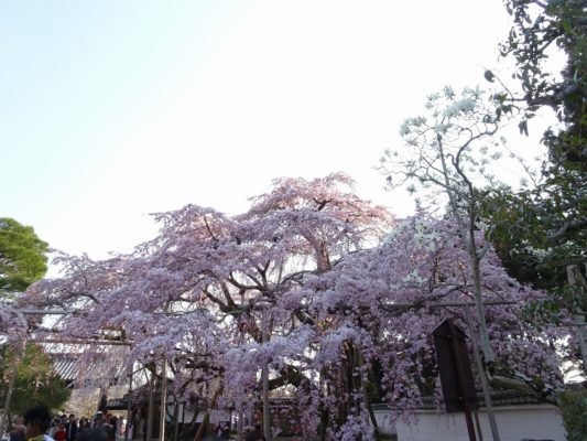 秀吉公ゆかりの醍醐寺のしだれ桜 写真