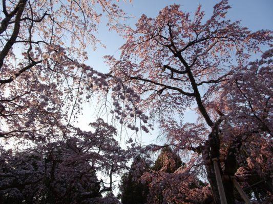 豊臣秀吉公ゆかりの醍醐寺のしだれ桜 写真