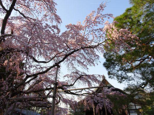 2017年 豊臣秀吉公ゆかりの醍醐寺のしだれ桜 写真