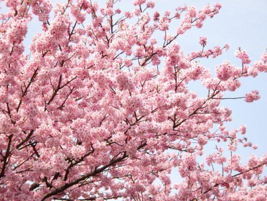 高台寺入口の桜