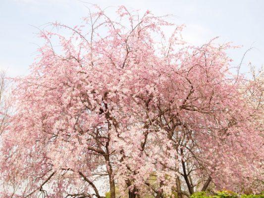 高台寺の桜2