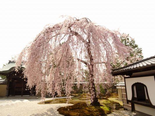高台寺 しだれ桜 2018