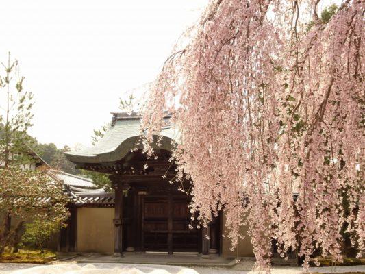 高台寺 しだれ桜と勅使門