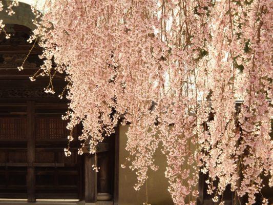 高台寺 しだれ桜と勅使門 2
