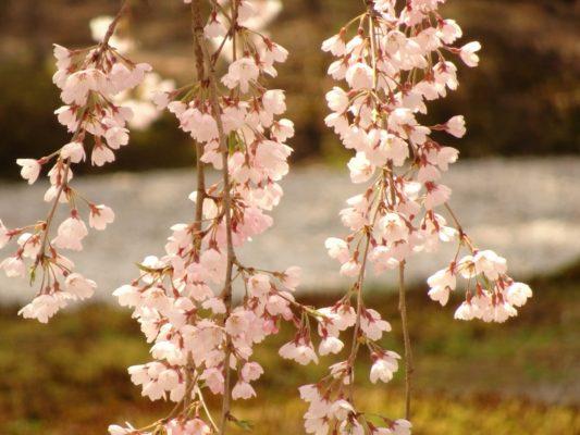 高台寺しだれ桜ズーム