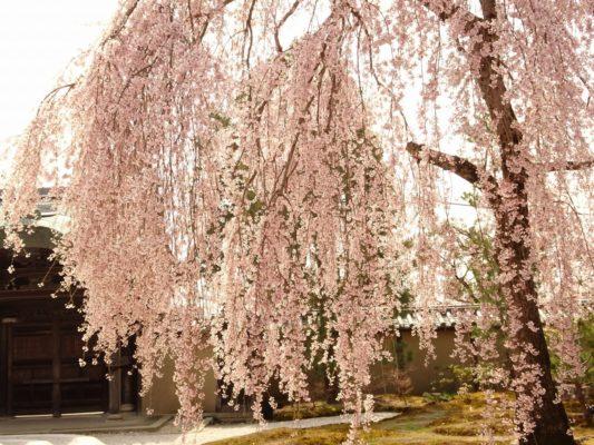 高台寺のしだれ桜2