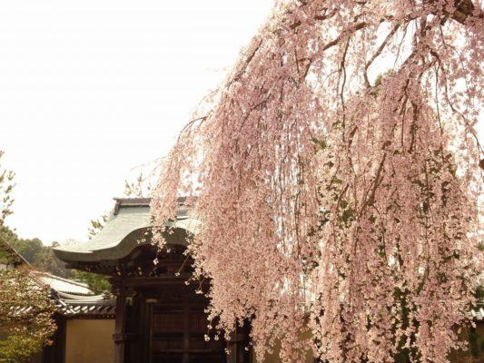 高台寺 しだれ桜 勅使門